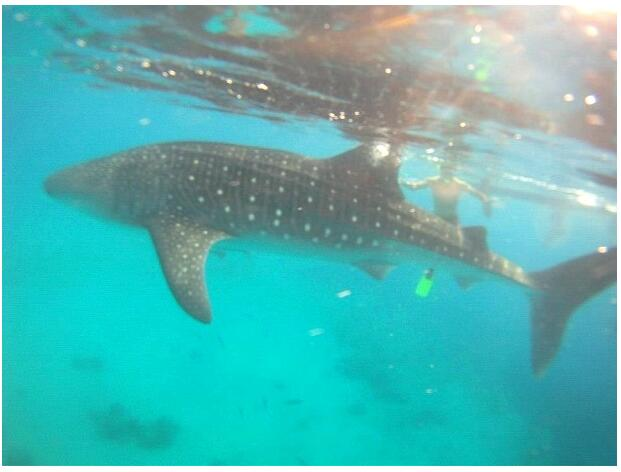 Whale Sharks at the Ningaloo Reef in Australia